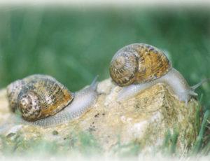 Jacquin- escargots